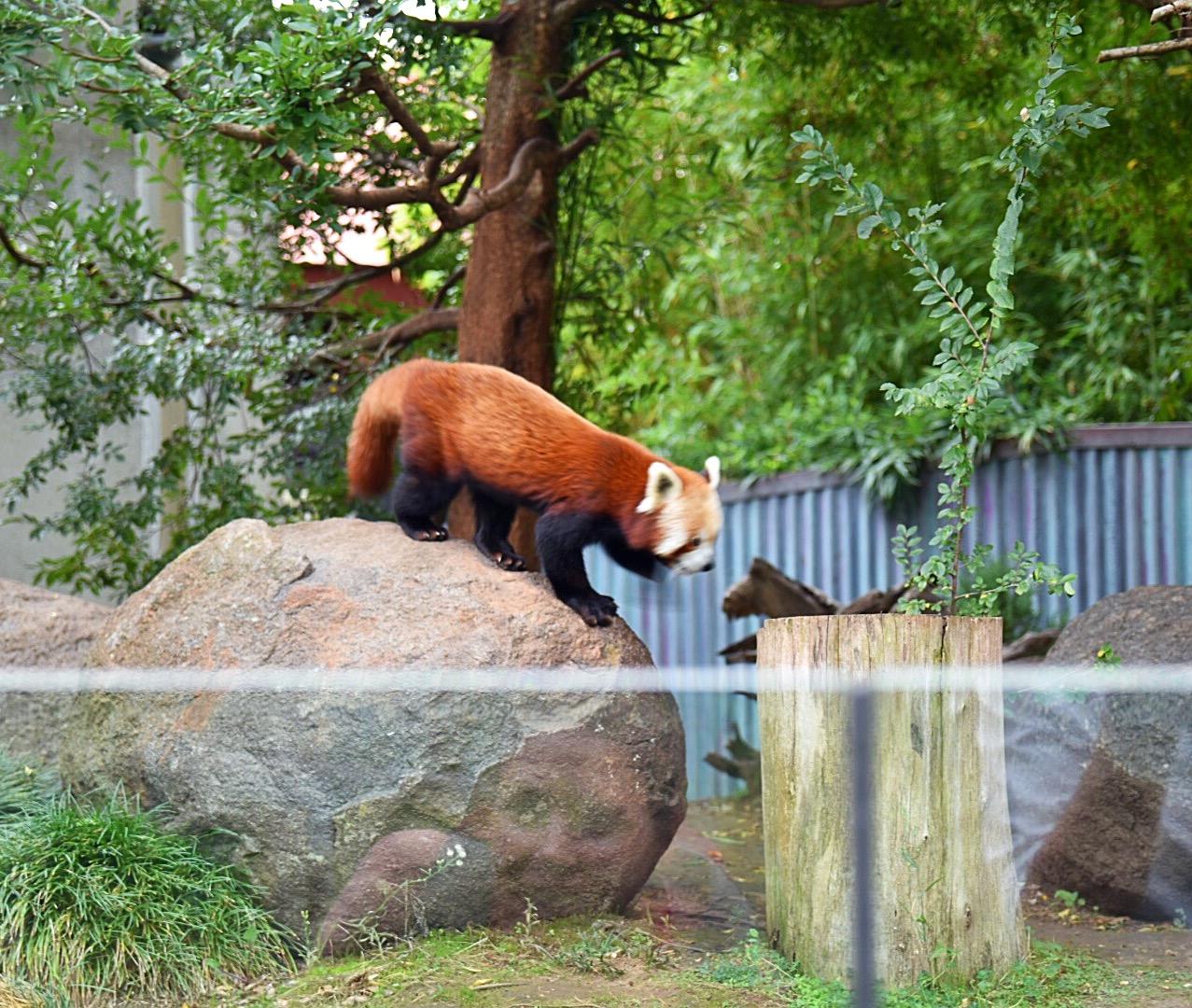 Ein seltener roter Panda